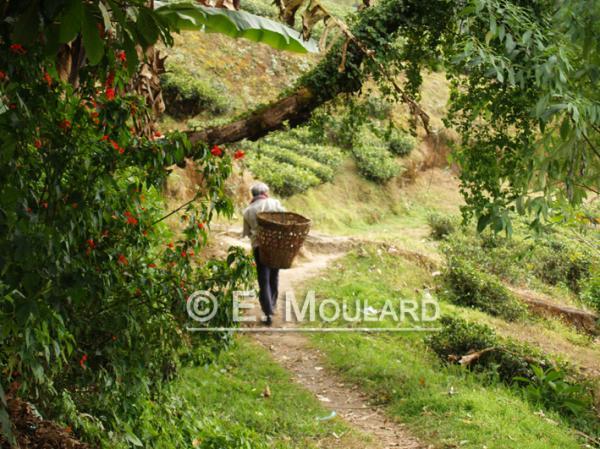 Cueilleur à Happy Valley, plantation à Darjeeling
