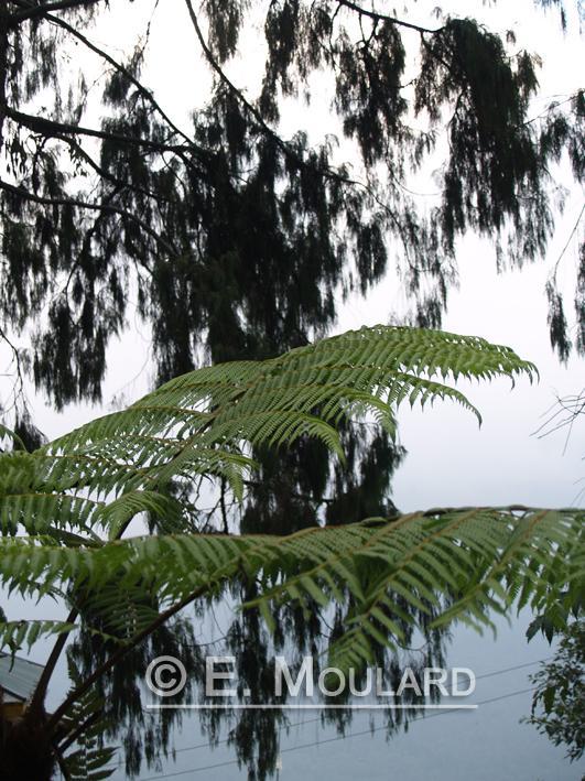 Fougère géante du Sikkim