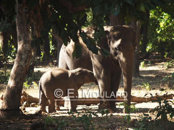 Maman éléphant et son bébé