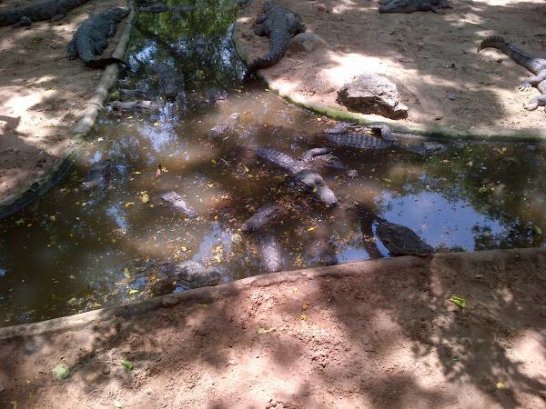 23 - A crocodile farm in Tamil Nadu