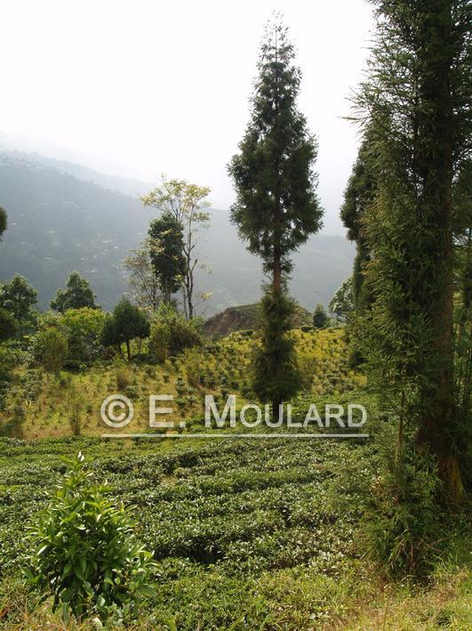 Plantations de thé à Darjeeling