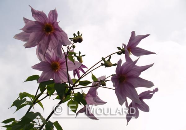 Fleur, à Darjeeling
