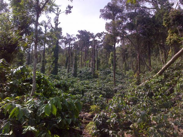141 - Coffee plantation
