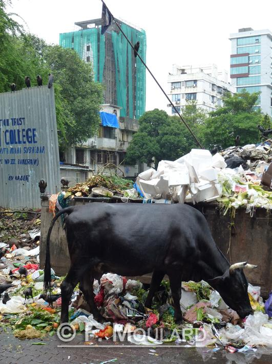 Are cows that sacred that they only have garbage to eat?