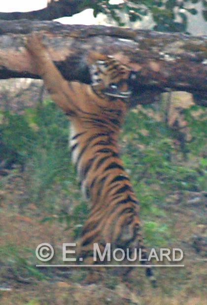 Un tigre en live!!